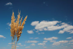 Several reed panicles on a blue sky. Reed panicles on blue sky background Stock Photos