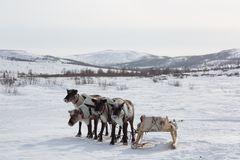 Several reindeers in winter,. Yamal, Russia royalty free stock images
