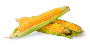 Several ripe cobs of corn partially peeled Royalty Free Stock Image