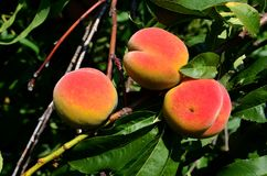 Several ripe juicy peaches hang on a tree. Several ripe juicy peaches hang on a tree on a sunny day royalty free stock images