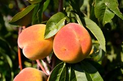 Several ripe juicy peaches hang on a tree. Several ripe juicy peaches hang on a tree on a sunny day royalty free stock photo