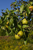 Pears on the tree. Royalty Free Stock Photo