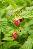 Several ripe red  raspberries growing Stock Photo