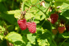 Several ripe red  raspberries growing Royalty Free Stock Photography