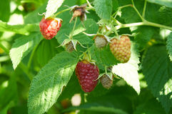 Several ripe red  raspberries growing on the bush Royalty Free Stock Images