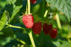 Several ripe red  raspberries growing on the bush Royalty Free Stock Photography