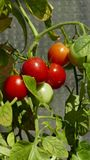 Several ripening tomatoes on the bush. In Poland royalty free stock photography