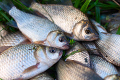 Several river carp on the green grass Royalty Free Stock Photos