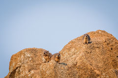 Several Rock hyraxes basking in the sun. Royalty Free Stock Images