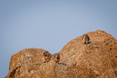 Several Rock hyraxes basking in the sun. Royalty Free Stock Photo