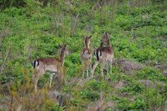 Wild roe deers. Several roe deer in a meadow in natural environment. Wildlife in europe Royalty Free Stock Photos