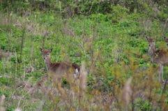 Wild roe deers. Several roe deer in a meadow in natural environment. Wildlife in europe Stock Photos