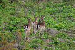 Wild roe deers. Several roe deer in a meadow in natural environment. Wildlife in europe Royalty Free Stock Image
