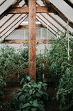 Several rows of tomatoes stalks in the greenhouse and red and green tomato fruits on the stalks Stock Images
