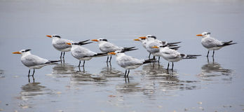 Several Royal Terns (Thalasseus maximus) on a beach Royalty Free Stock Photography