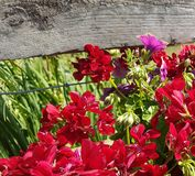 Several scattered red and pink bell shaped flowers stock photography