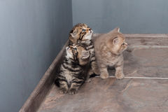Several Scottish Fold and Straight kittens Stock Image