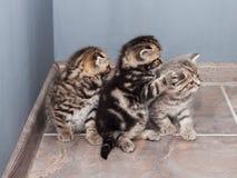 Several Scottish Fold and Straight kitties Stock Photo