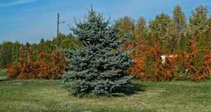 Several Sea Buckthorn trees with Christmas tree in front of them.  royalty free stock photos