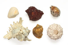 Several sea shells and sea urc Royalty Free Stock Image