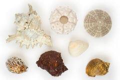 Several sea-urchins and sea-sh. Ells on white background Stock Photos