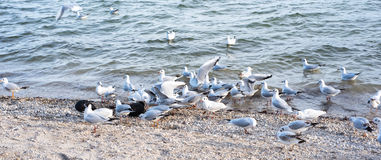 Several seagulls coming for feeding at the border of the lake Stock Photos