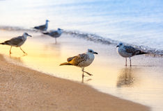 Several seagulls Larus michahellis are standing on a sandy beach on the Black Sea shore Stock Photography