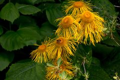 Several shaggy orange flowers and an insect hard at work. Unusual yellow and orange flowers with large heads and droopy petals stand in contrast to dark greeny royalty free stock photos