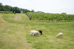 Several Sheep Grazing on a Vineyard Stock Photo