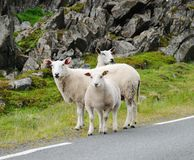 Several sheep in the Norwegian road Stock Photography