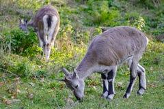Several sheeps (Pseudois nayaur) eat grass Stock Photo