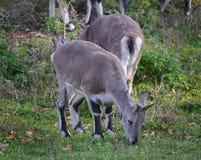 Several sheeps (Pseudois nayaur) eat grass Stock Photos