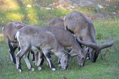 Several sheeps (Pseudois nayaur) eat grass Royalty Free Stock Photography