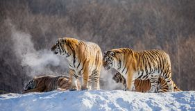Several siberian tigers on a snowy hill against the background of winter trees. China. Harbin. Mudanjiang province. Hengdaohezi park. Siberian Tiger Park royalty free stock image