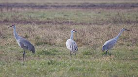 Sandhill Cranes Graze in a Field. Several snadhill cranes graze grasslands in search for food royalty free stock photos