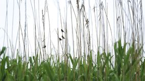 Sparrow in the reeds royalty free stock image