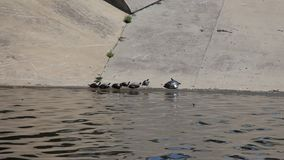 Several species of turtles basking in the sun stock video footage