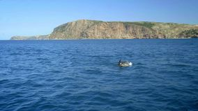 Several Spinner Dolphins swimming fast, porpoising, jumping out of water, hunting tuna. Beautiful and intelligent marine
