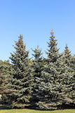 Several spruce with pine cone. On a sunny day Royalty Free Stock Image