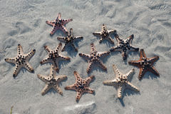 Several Starfish is lying on the Sand at sunset Stock Image