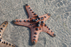 Several Starfish is lying on the white Sand - closeup Royalty Free Stock Photography