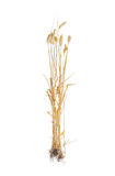Several stems of wheat with spikelet on a light background. Several stalks of ripe wheat with spikelet, leaves and roots on a light background. Isolation Royalty Free Stock Image