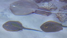 Several stingrays floating in shallow water 4K video. Clip stock footage