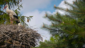 Several storks sitting in a nest  stock video footage