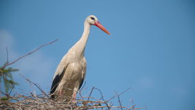 Several storks sitting in a nest.  stock video