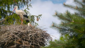 Several storks sitting in a nest  stock video