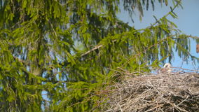 Several storks sitting in a nest. Several storks sitting in a nest stock video footage