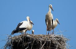 Several storks standing in the nest against the sky royalty free stock photos