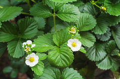 Several strawberry flowers Royalty Free Stock Photo