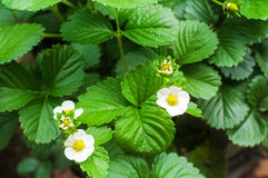 Several strawberry flowers on stem Stock Photo